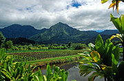 Tropical Prints Prints - A Taro Farm in Hanalei Print by Kathy Yates