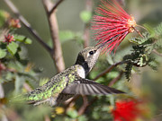 Bottle Brush Prints - A Taste for Nectar  Print by Saija  Lehtonen