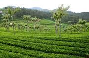 JISS JOSEPH - a tea garden
