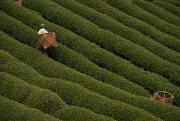 Honshu Photos - A Tea Harvester Walks Between Two Thick by George F. Mobley