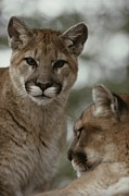 Wildcats Posters - A Ten-month-old Mountain Lion, Felis Poster by Jim And Jamie Dutcher