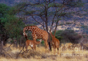 Kenya Wildlife Framed Prints - A Tender Moment Framed Print by Sandra Bronstein