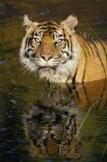 Wildcats Prints - A Tiger Glares Directly Into The Camera Print by Jason Edwards