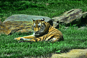 The Tiger Photo Metal Prints - A Tigers Gaze Metal Print by Paul Ward