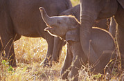 Bonding Metal Prints - A Tiny Endangered Asian Elephant Calf Metal Print by Jason Edwards