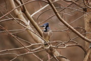Bluejay Metal Prints - A Touch of Blue Metal Print by Lori Tambakis
