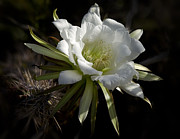 White Cactus Flower Framed Prints - A Touch of Nature  Framed Print by Saija  Lehtonen