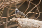 Desert Dome Photos - A Towhee At The Omaha Zoo by Joel Sartore