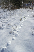 Animal Tracks Framed Prints - A Trail Of Lynx Tracks In The Snow Framed Print by Paul Nicklen