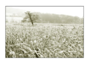 Cornfield Framed Prints - A Tree in a Cornfield Framed Print by Mal Bray