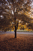 Schools Photo Prints - A Tree In Autumn Foliage On The Grounds Print by Sam Abell