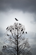Crow Image Photos - A Tree In Which Many Crows Have Rest by Hiroshi Watanabe