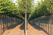Plant Nursery Posters - A Tree Nursery. Rows Of Young Sapling Poster by Bryan Mullennix