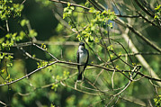 Spring Scenes Framed Prints - A Tree Swallow Perched On A Tree Branch Framed Print by Raymond Gehman