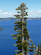 Crater Lake View Prints - A Tree With A View Print by Methune Hively