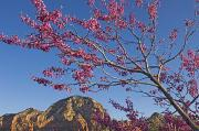 Red Rocks Of Sedona Prints - A Tree With Pink Blossoms In Red Rock Print by Axiom Photographic