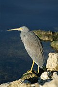 Egretta Tricolor Posters - A Tricolored Heron Perches On A Rock Poster by Norbert Rosing
