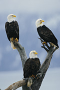 Roosting And Resting Posters - A Trio Of American Bald Eagles Perched Poster by Klaus Nigge