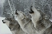 Snow Scenes Prints - A Trio Of Gray Wolves, Canis Lupus Print by Jim And Jamie Dutcher