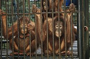 Orangutans Framed Prints - A Trio Of Orphaned Orangutans In A Cage Framed Print by Tim Laman