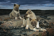 Huskies Framed Prints - A Trio Of Playful Husky Puppies Framed Print by Paul Nicklen