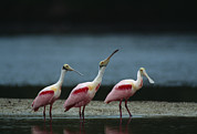 Spoonbill Photos - A Trio Of Roseate Spoonbills by Klaus Nigge