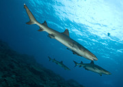 Reef Sharks Posters - A Trio Of Whitetip Reef Sharks, Kimbe Poster by Steve Jones