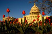 Governmental Prints - A Tulip Bed In Front Of The U.s Print by Sam Kittner