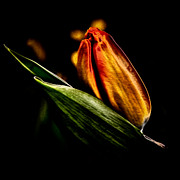 Nature Prints - A Tulip With Sheen Print by David Patterson