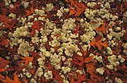 Reindeer Moss Posters - A Tumble Of Fall Colored Oak Leaves Poster by Raymond Gehman