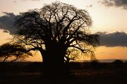 Tarangire Prints - A Twilight View Of A Baobab Tree Print by Tim Laman
