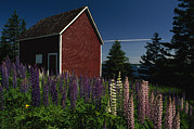 Fir Trees Posters - A View Of A Shed In A Field Of Lupine Poster by James P. Blair
