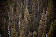Taylor S. Kennedy - A View Of Black Spruce...