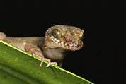 Lizards Photos - A View Of The Head Of A Gecko Peering by Tim Laman