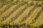 Grapevines Prints - A Vineyard Growing In Rows Print by Phil Schermeister