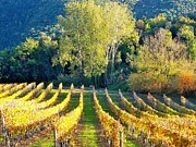 Winemaking Photos - A Vineyard In Autumn by Marcello Ciappi