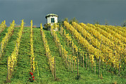 Grapevines Photos - A Vineyard In Autumn Near Lake Zurich by David Pluth