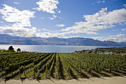 Okanagan Lake Posters - A Vineyard In Canada On A Summer Day Poster by Taylor S. Kennedy