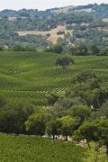 Sonoma County Vineyards. Metal Prints - A Vineyard In The Anderson Valley Metal Print by Richard Nowitz