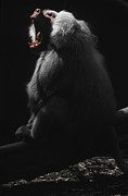 Primate Photo Prints - A Virile Male Sacred Baboon Roars Print by Jason Edwards