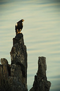 Roosting And Resting Posters - A Vocalizing Stellers Sea Eagle Perches Poster by Klaus Nigge