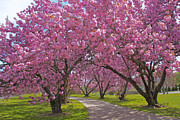 Cindy Longhini Prints - A Walk Down Cherry Blossom Lane Print by Cindy Lee Longhini