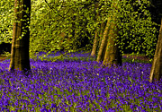 Woodland Violet Photos - A walk in Bluebell Wood by Trevor Kersley