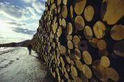 Forests And Forestry Art - A Wall Of Newly Delivered Spruce by Ira Block