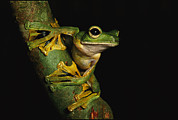 A Wallaces Flying Frog Print by Tim Laman