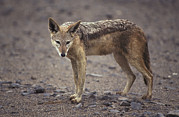 Wary Prints - A Wary Black-backed Jackal On A Remote Print by Jason Edwards