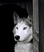 Huskies Framed Prints - A watchful Husky dog Framed Print by Shaun Higson