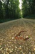 Dirt Roads Photos - A Water Moccasin Snake Opens Its Mouth by Stephen Alvarez