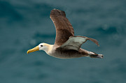 Waved Albatross Photos - A Waved Albatross Flying by Ben Queenborough