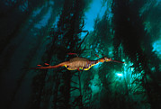 Weedy Posters - A Weedy Sea Dragon Paddles Poster by David Doubilet